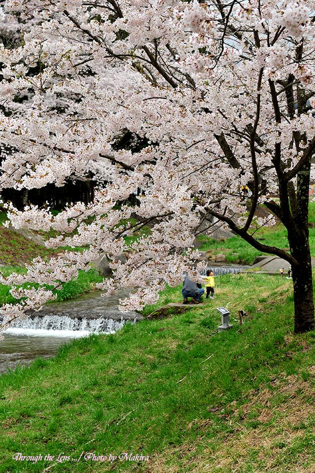 観音寺川桜2