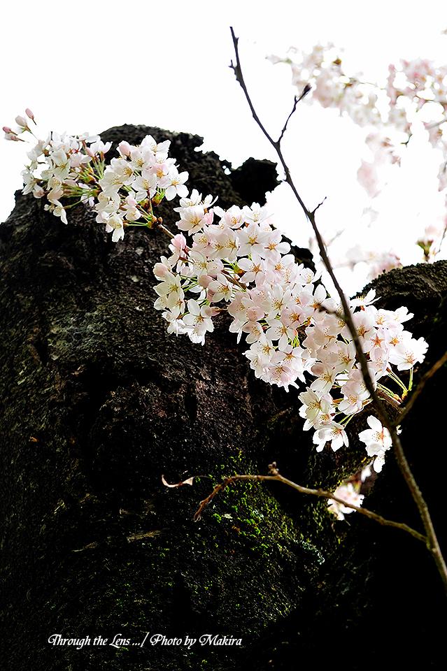 観音寺川桜5