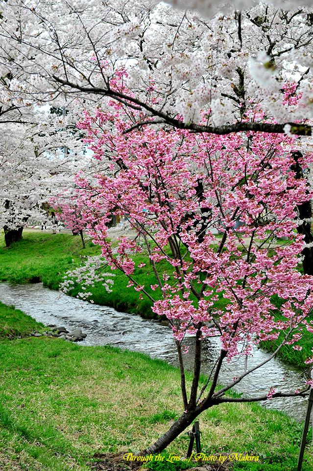 観音寺川桜8