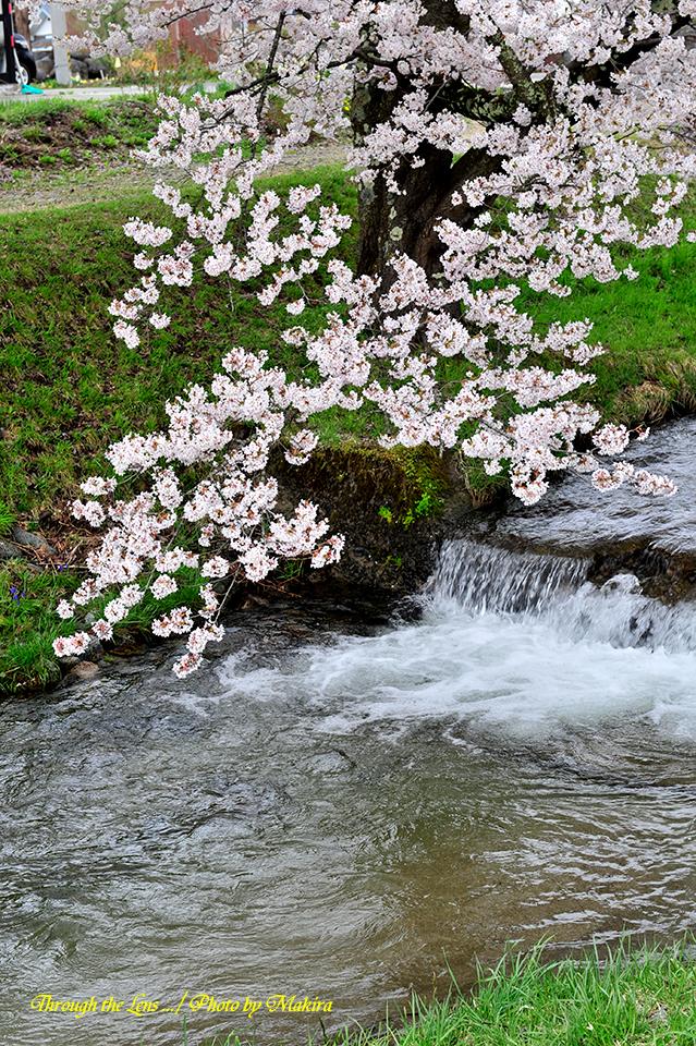 観音寺川桜7