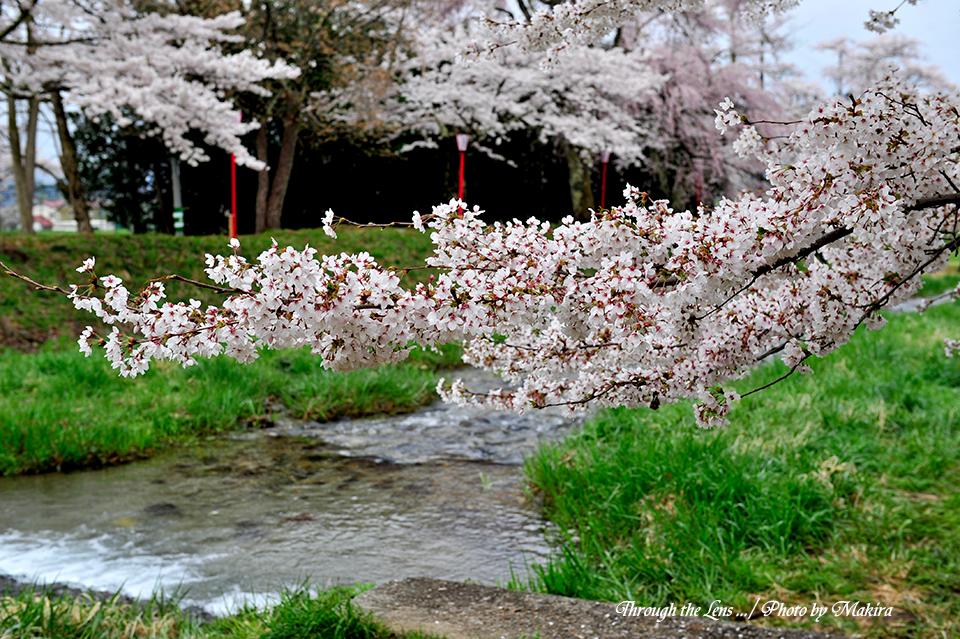 観音寺川桜10