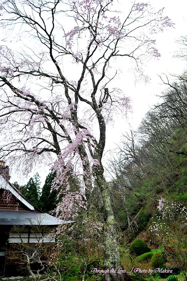 観音寺桜3