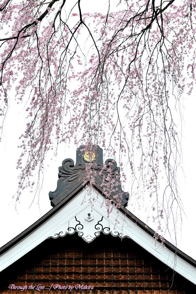 観音寺桜2