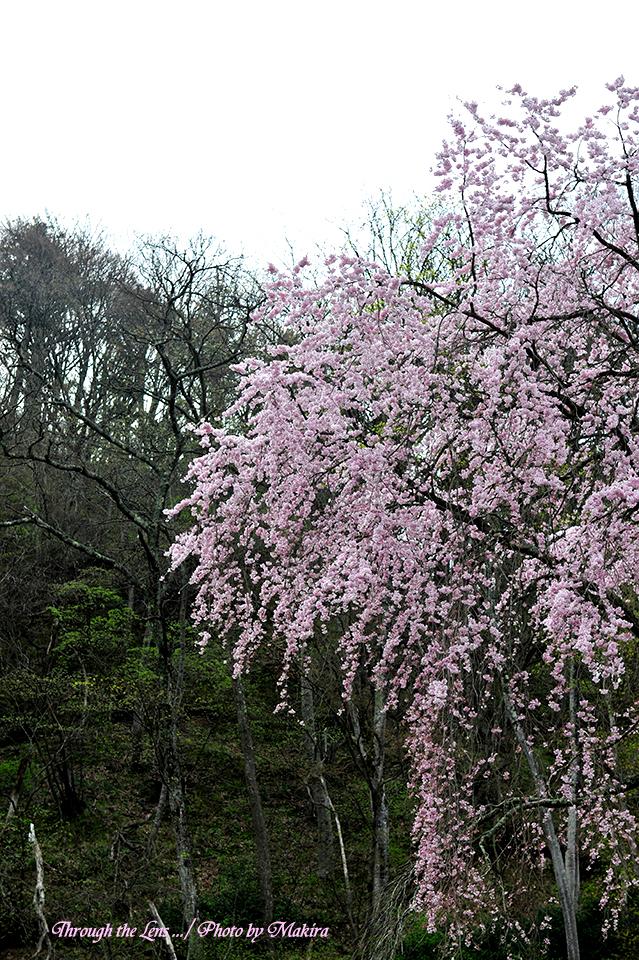 観音寺桜5