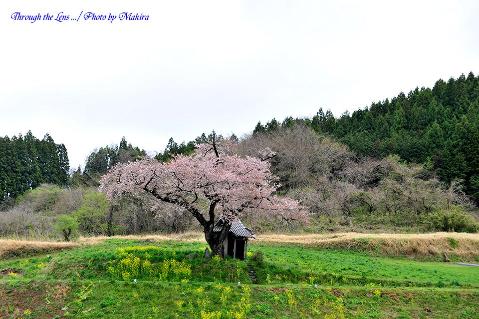 小沢の桜2