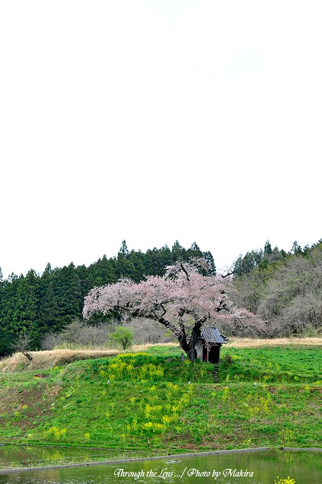 小沢の桜3
