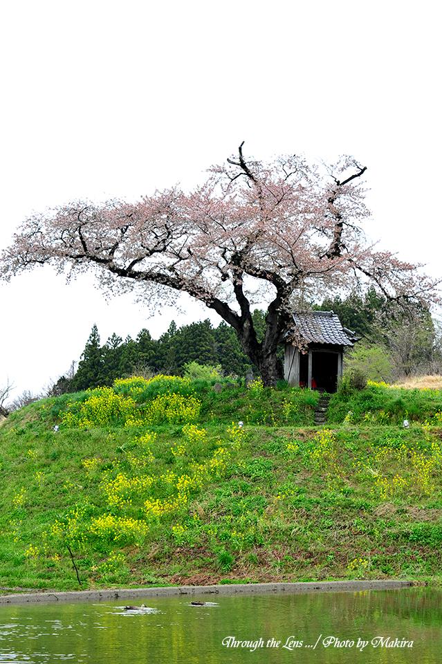 小沢の桜4