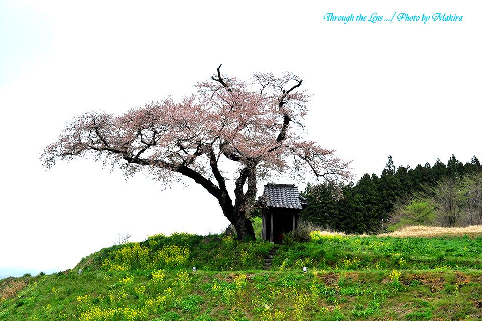 小沢の桜5