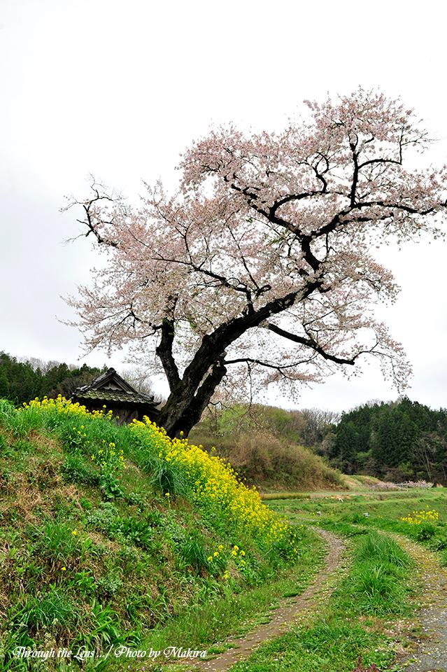 小沢の桜6