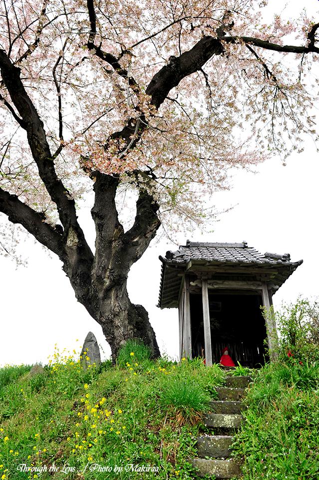 小沢の桜7
