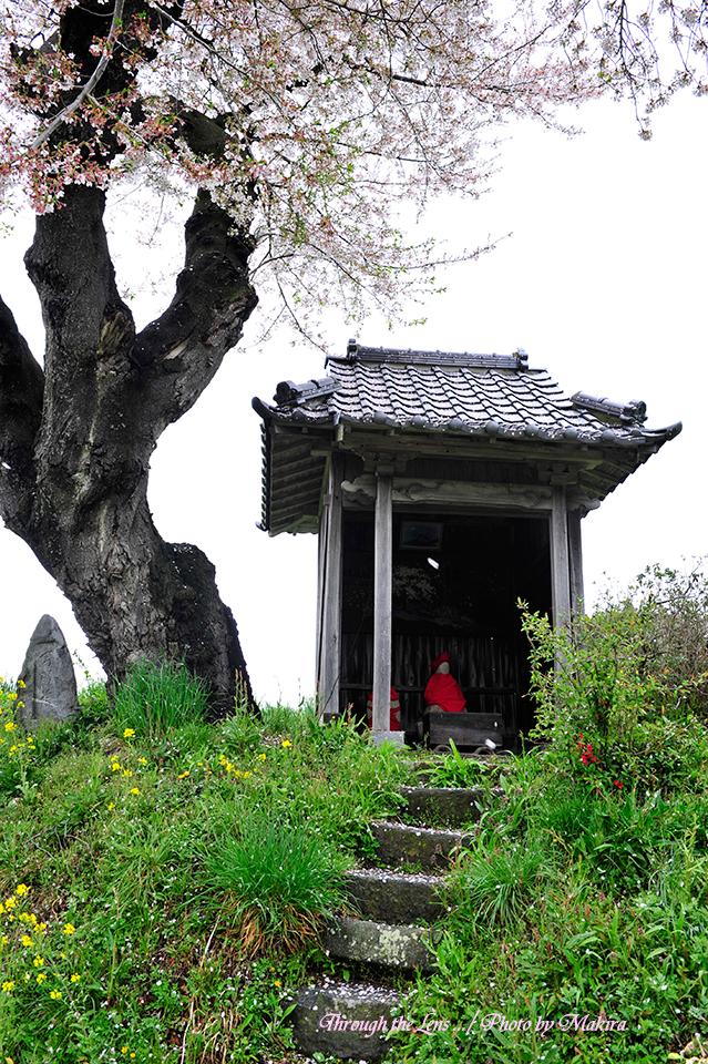 小沢の桜8