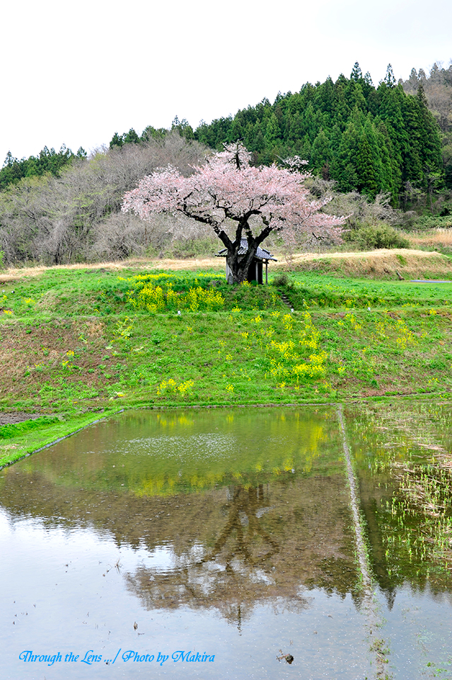 小沢の桜11