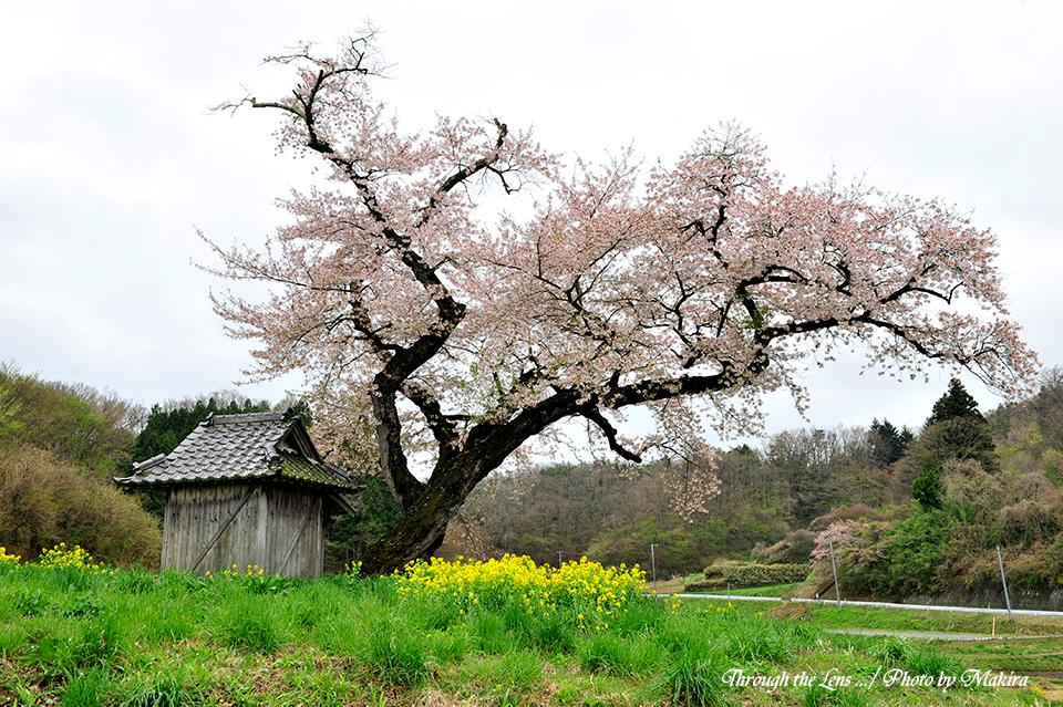 小沢の桜12
