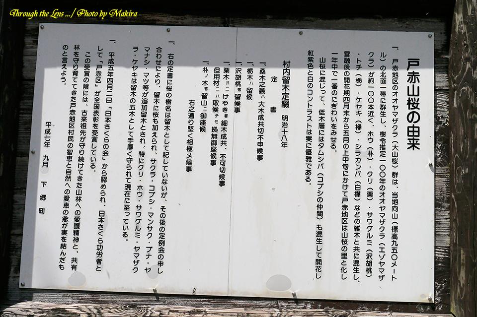 戸赤山桜由来L1