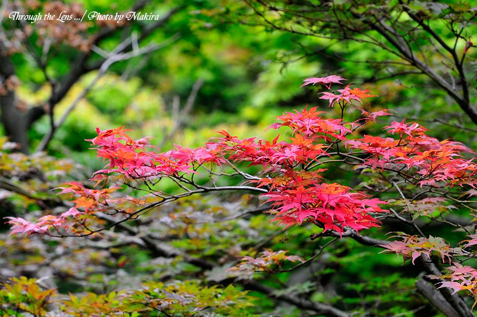 赤鴫立沢(アカシギタツサワ・イロハモミジ)1