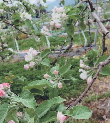 リンゴの花001wb