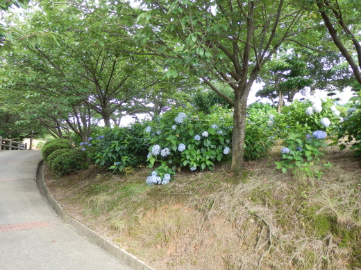 kurashikicitytanematsuyamapark1607-25.jpg