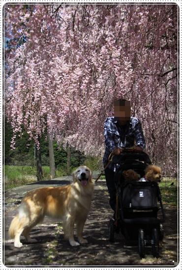 2016,4,15桜1