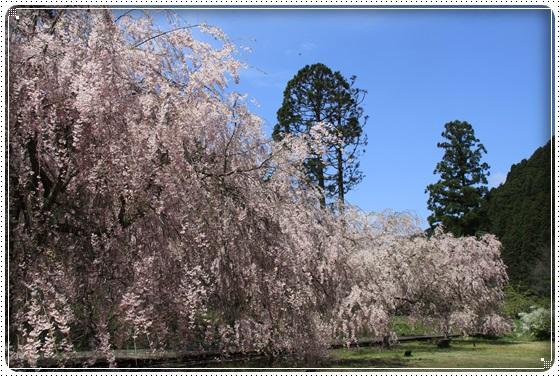 2016,4,15桜2