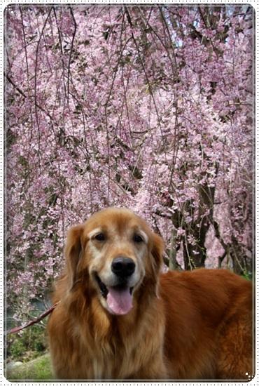 2016,4,15桜13