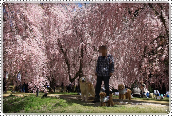 2016,4,15桜8
