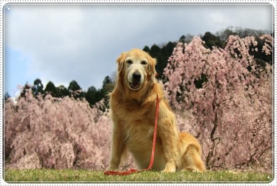 2016,4,15桜12