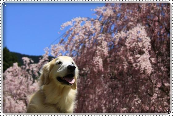 2016,4,15桜5