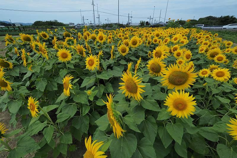 himawari_011-m.jpg