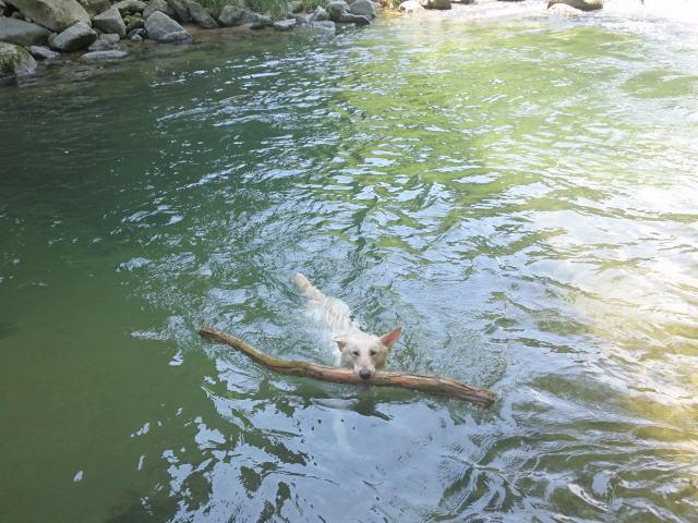 ホワイトシェパードの泳ぎ