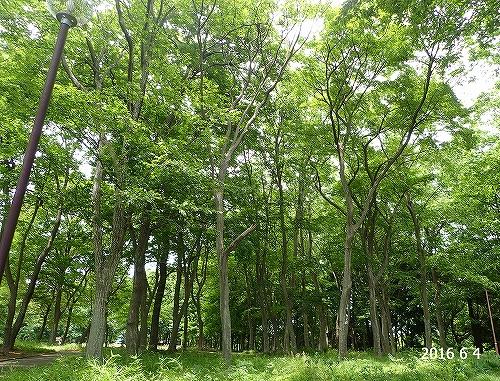 s-春の林20160604