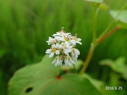 s-白い花20160625