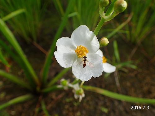 s-白い花20160703