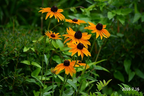 s-黄色の花20160716