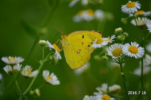 s-黄色の蝶20160716