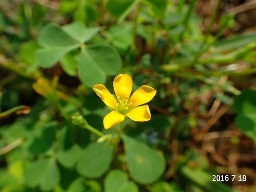 s-黄色の小さな花②20160718