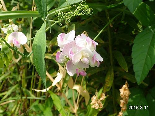 s-マメ科の花20160811