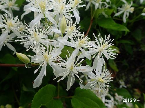 s-白い花2010904