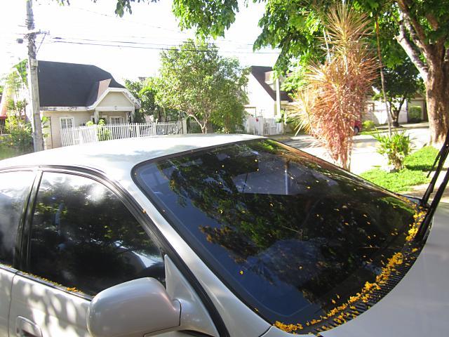 黄色い桜1