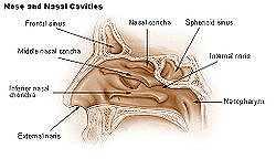 250px-Illu_nose_nasal_cavities.jpg