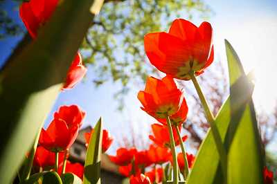 photo-tulips-sunshine-low-angle.jpg