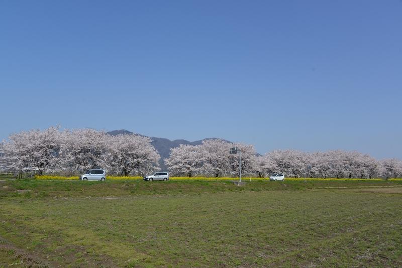 弥彦の桜 Ⅰ-1