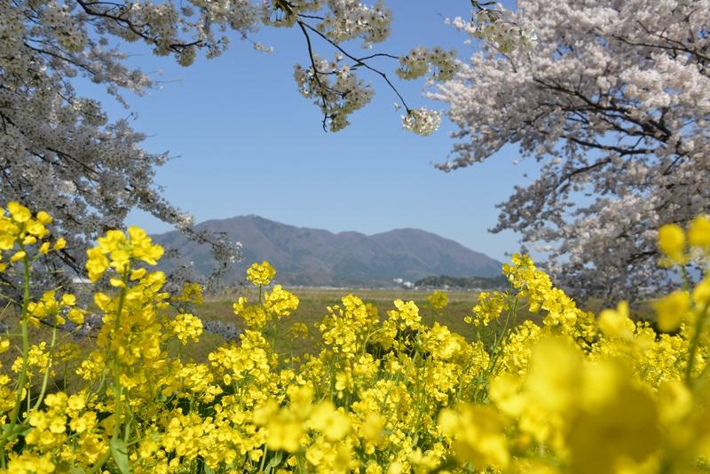 弥彦の桜 Ⅰ-3