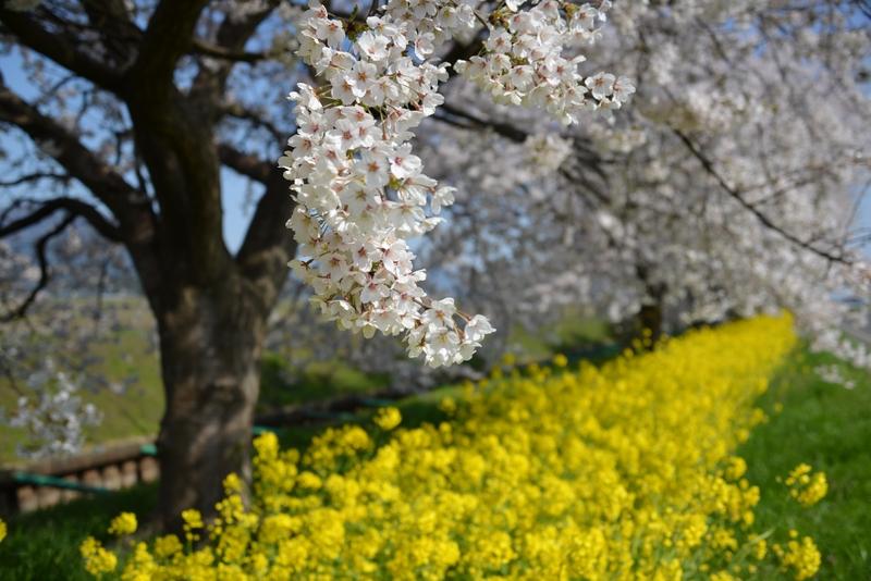 弥彦の桜 Ⅰ-4