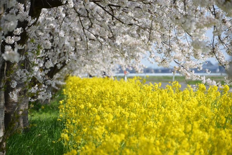 弥彦の桜 Ⅰ-5