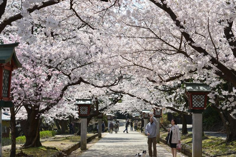 弥彦の桜 Ⅱ-1