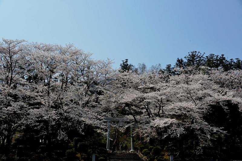 弥彦の桜 Ⅱ-4