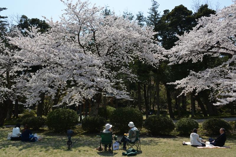 弥彦の桜 Ⅱ-2