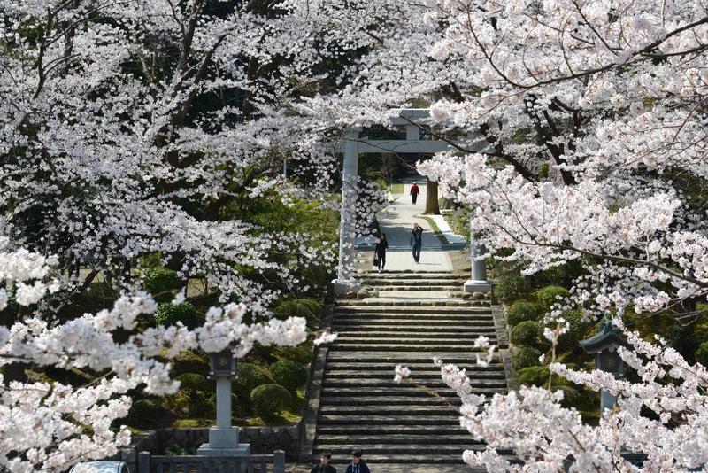 弥彦の桜 Ⅱ-3