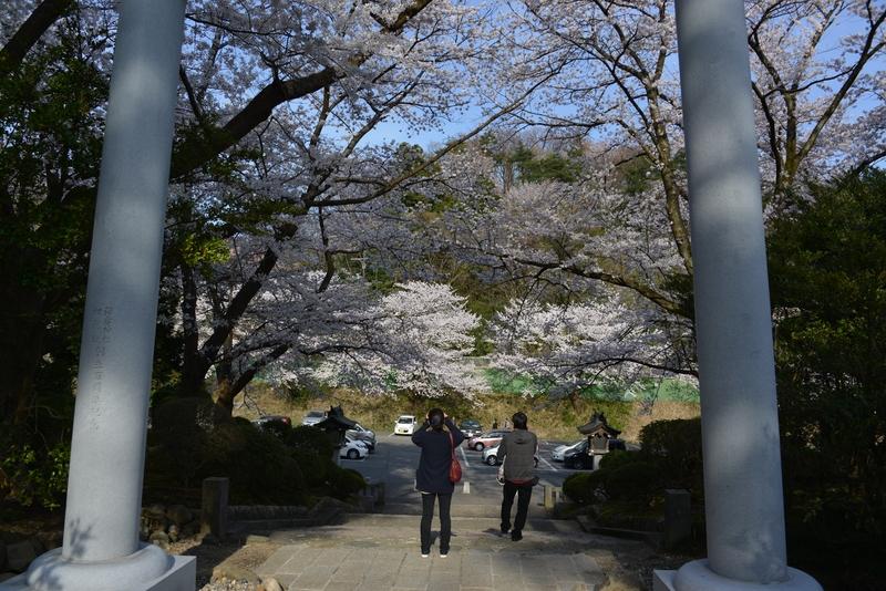 弥彦の桜 Ⅱ-5