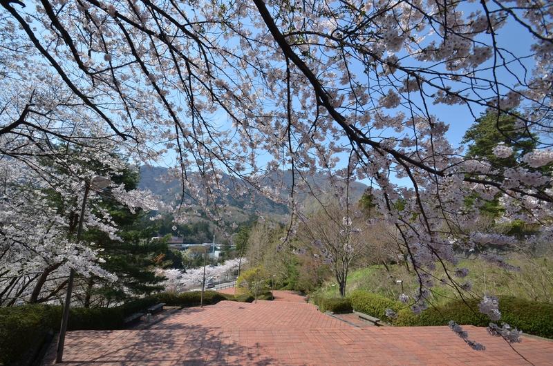 弥彦の桜 Ⅲ-1